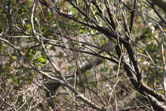 裏山の木の枝にとまるメジロ