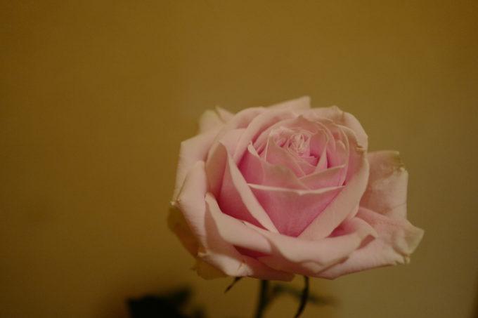 可憐に咲くピンク色のバラ