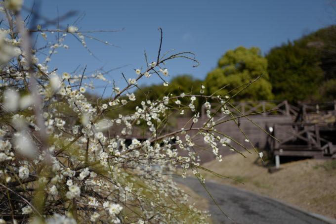 春を感じさせる桜の蕾