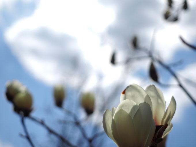 満開の白木蓮